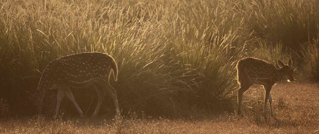Spotted deer caught in the morning light